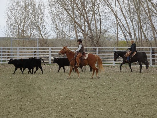 The Hideout Lodge & Guest Ranch: Team penning is harder than it looks!