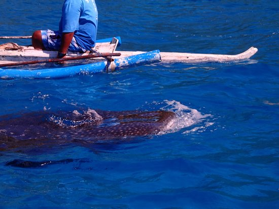 Granada Beach Resort: whale shark watching