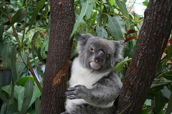 Kuranda Koala Gardens: Koala