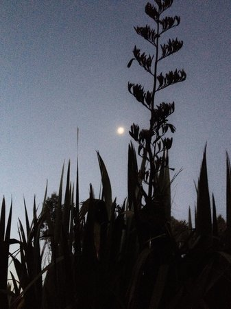 Wetland View Park: Moon peering through a crown of flax