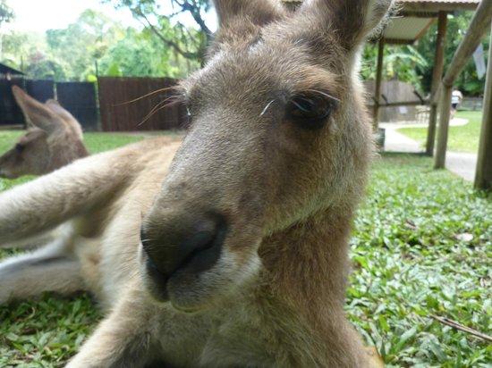 Kuranda Koala Gardens: Kangourou