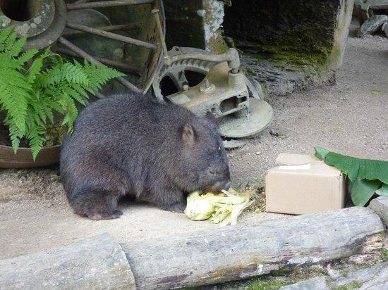 Kuranda Koala Gardens: Wombat