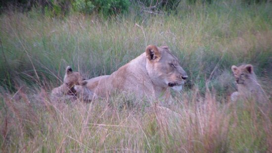 Sibuya Game Reserve: 4 -Star Luxury Tented Camps and Lodge: Lion with Cubs