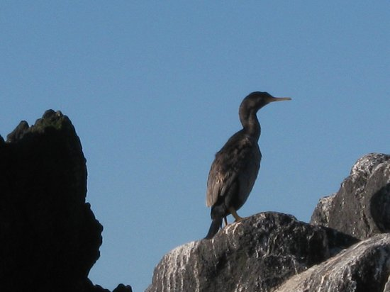 Monarch Wildlife Cruises & Tours: A Stewart Island Shag posing for us