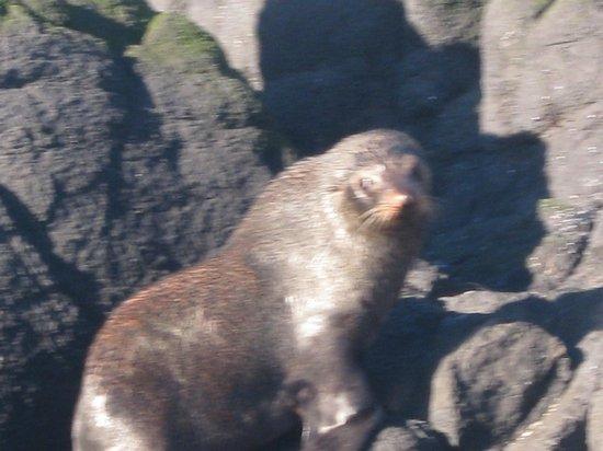 Monarch Wildlife Cruises & Tours: Fur Seal basking on the rocks