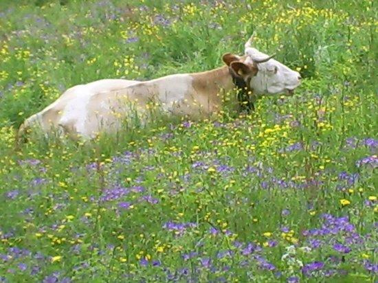 A La Tour Carree : Happy cows, happy field : )