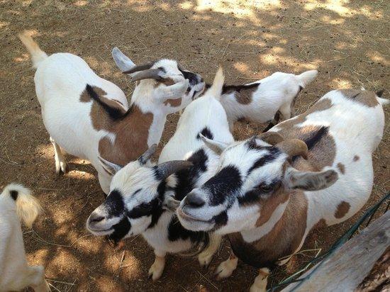 Villa Laguna Galijot : Козы в Динопарке
