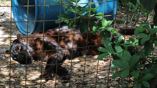 Big Cat Rescue : Sabre a Black Jaguar