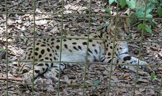 Big Cat Rescue : Relaxing in the shade
