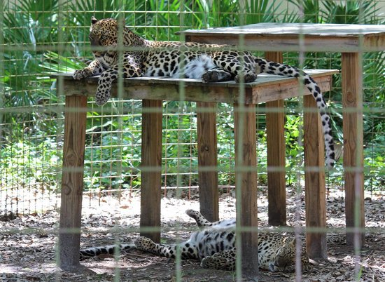 Big Cat Rescue : Jade and Armani, affectionately called the Hilton Sisters by the staff