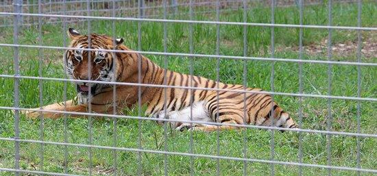 Big Cat Rescue : Bengali a bengal tiger