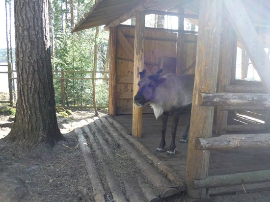 Dacha Wintera: Местный олень