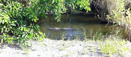 Anhinga Trail: Gator modello u-boot