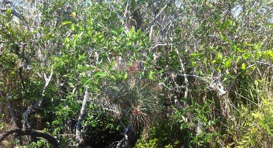 Anhinga Trail: Tillandsie