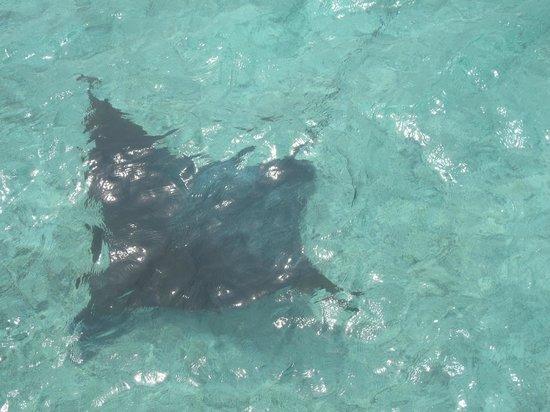 Komandoo Maldives Island Resort: Eagle Ray