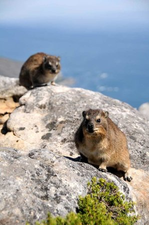 Table Mountain National Park: Dassies - Table Mountain