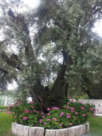 Hotel Vaya: ancient olive tree