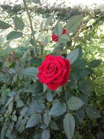 Orto Botanico : Rosa