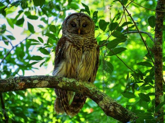 Florida Barn Owl - Picture of Lettuce Lake Regional Park ...