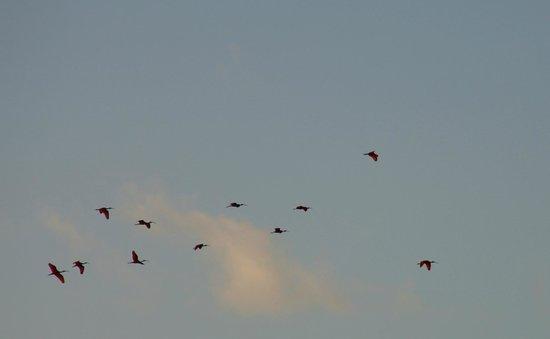 Caroni Lagoon National Park : алые ибисы