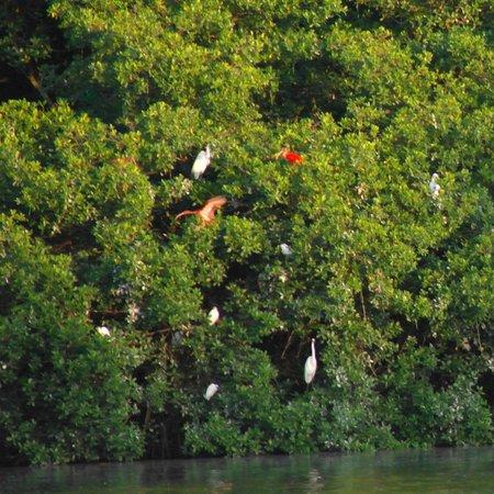 Caroni Lagoon National Park : алые и белые ибисы