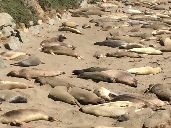 Holiday Inn Express San Luis Obispo: Praia de Piedras Blancas: Leões Marinhos