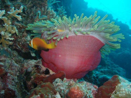 Vilamendhoo Island Resort & Spa : clown fish