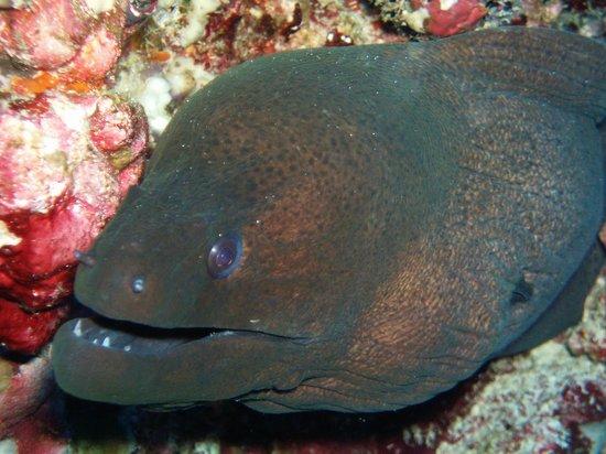 Vilamendhoo Island Resort & Spa : moray eel