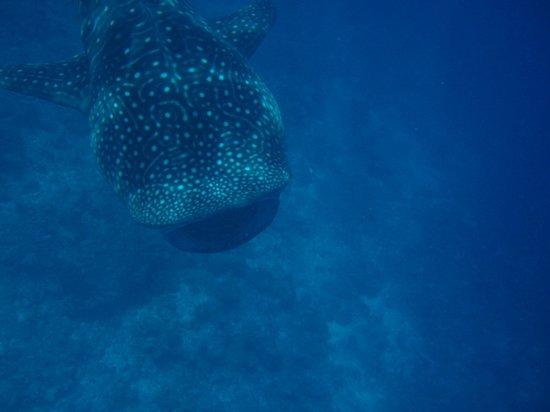 Vilamendhoo Island Resort & Spa : whale shark