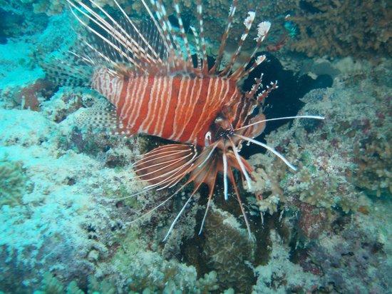Vilamendhoo Island Resort & Spa : lion fish