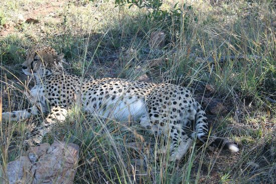 Mosetlha Bush Camp & Eco Lodge: finally got a leopard