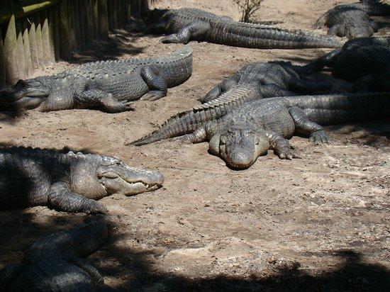St. Augustine Alligator Farm Zoological Park : ser dovne ud, men vent til de får mad