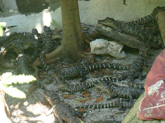 St. Augustine Alligator Farm Zoological Park : stort avlsprogram