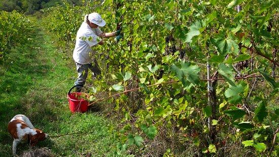 Agriturismo Podere Tegline : Harvesting in Chianti