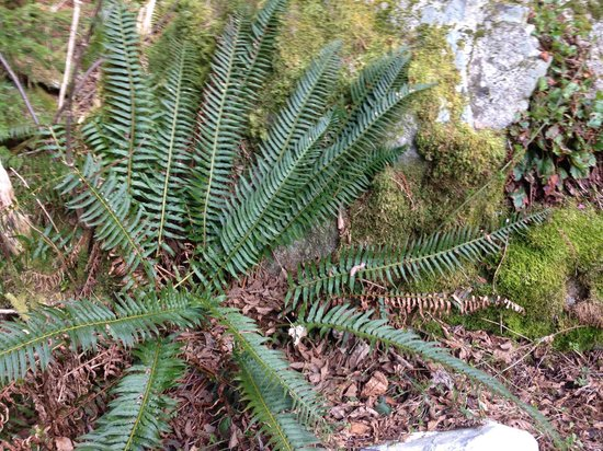 MTN Fun Basecamp: Sword ferns on our property