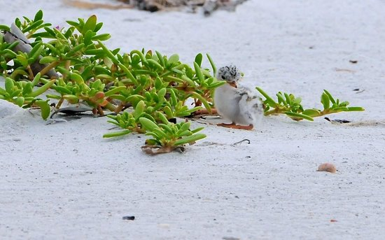 GullWing Beach Resort: Baby Tern on Beach