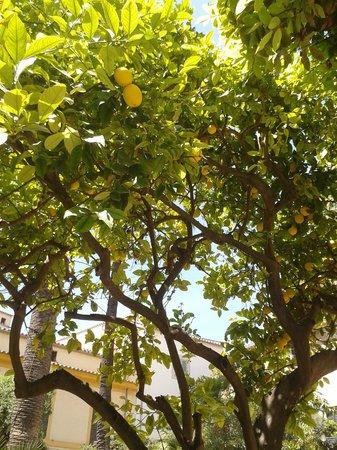 Banys Arabs (Arab Baths) : A lemon tree laden with fruit
