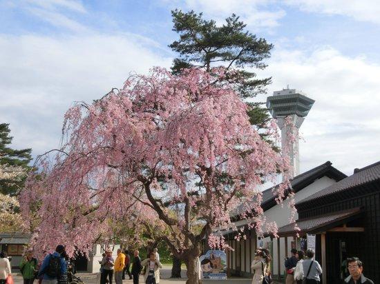 Goryokaku Park : 枝垂桜