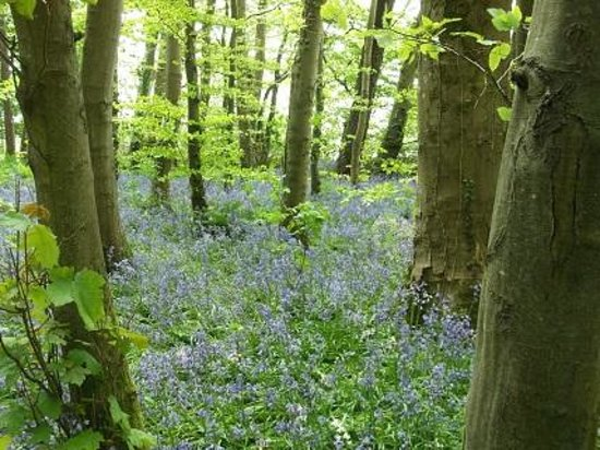 Tre-Ysgawen Hall, Country House Hotel and Spa : Bluebells in the grounds