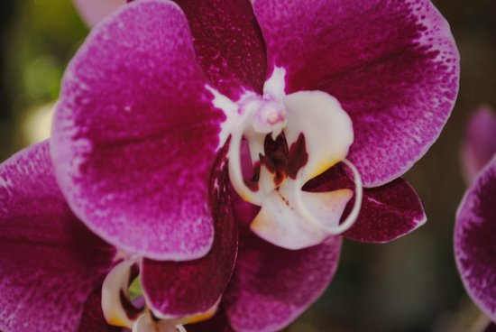 West Martello Tower: Orchid