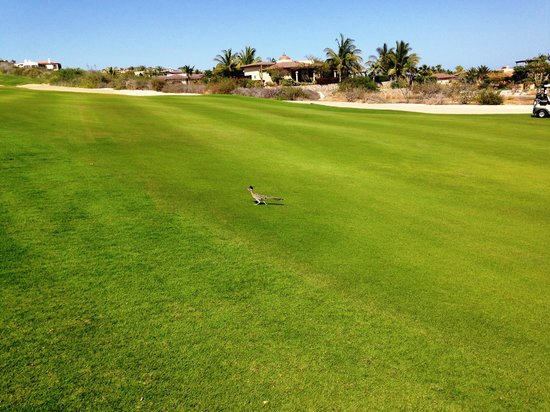 Puerto Los Cabos Golf Club: a local visitor