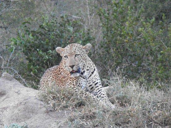 Arathusa Safari Lodge: Nice kitty