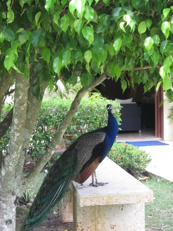 Iberostar Costa Dorada : Peacock at the spa