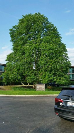 The Hyatt Lodge at McDonald's Campus: America's largest Buckeye Tree