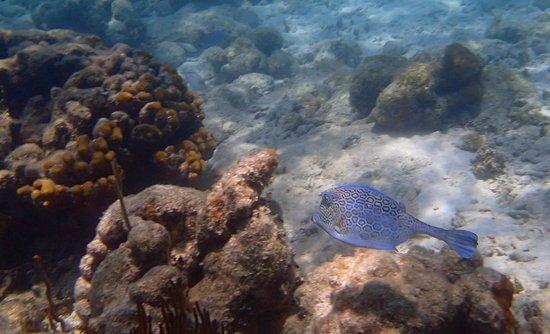 Rosewood Little Dix Bay: Hog fish on LBJ reef