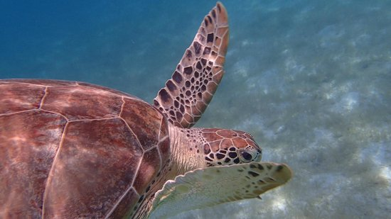 Rosewood Little Dix Bay: Turtle encounter