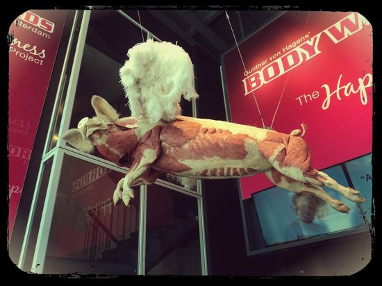 Body Worlds : Where pigs can fly