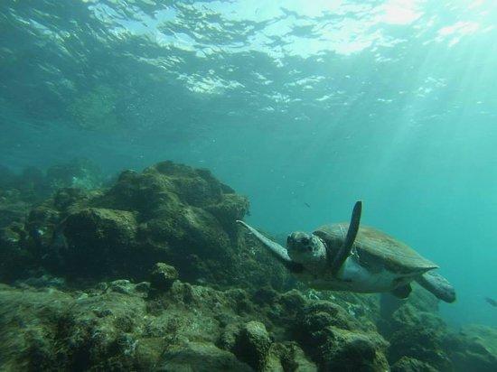 Espiritu De Buceo Padi 5 Star Dive Centre: Une des nombreuses tortues d'Alcala