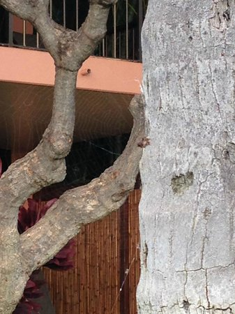 Marriott's Maui Ocean Club  - Lahaina & Napili Towers : Spider Webs on Trees and Plants