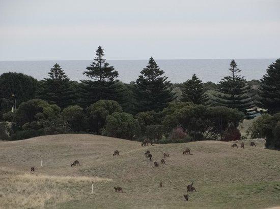 Links Lady Bay Resort: kangaroos on golf course